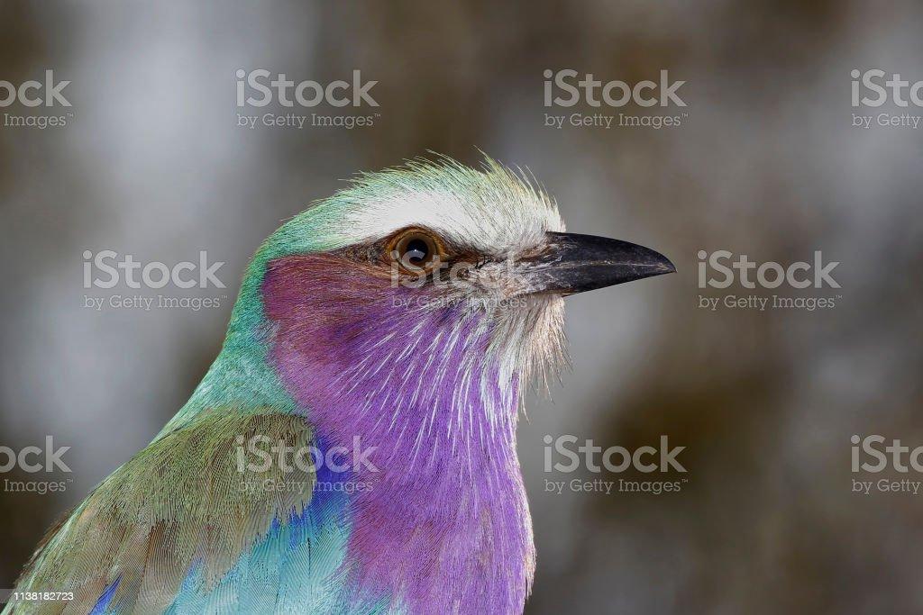 Animal birds lilac-breasted roller woodland savanna safari Africa...