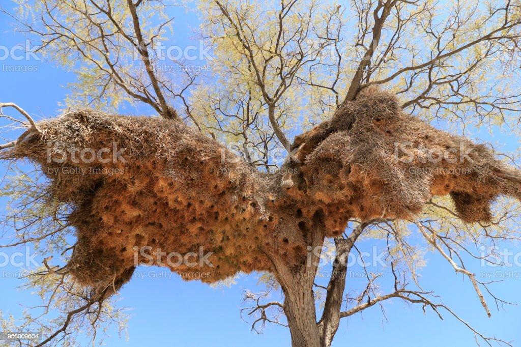 Animal birds nests trees acacia breading sociable weaver grass...