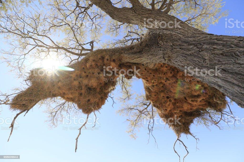 Animal birds nests trees breading sun sky sociable weaver wildlife...