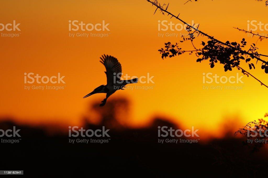 Animal birds pied kingfisher sunset sunrise silhouette wildlife...