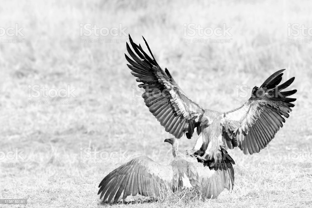 Animal birds vultures Africa wildlife nature savanna wings flying...