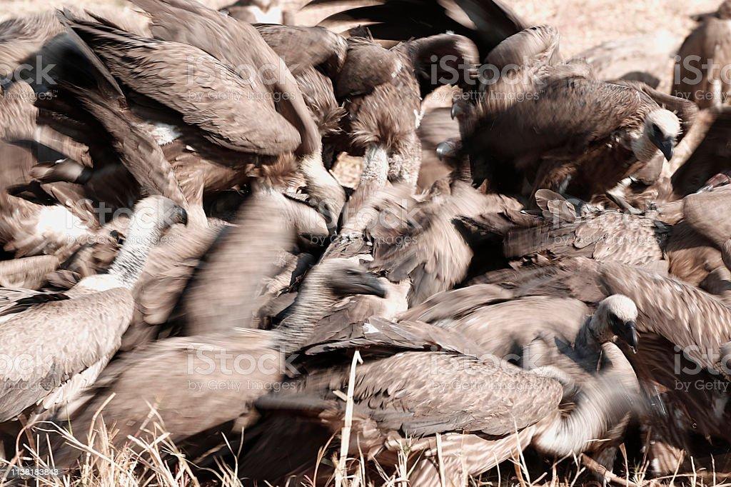 Animal birds vultures scavengers nature wildlife Africa wilderness...