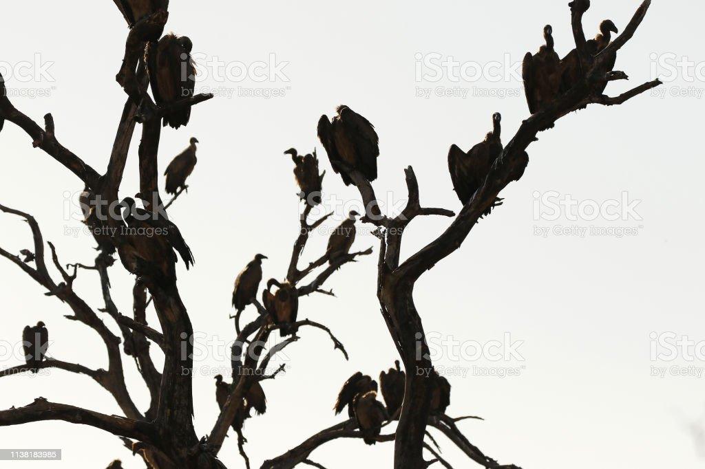 Animal birds vultures scavengers wilderness wildlife nature Africa...
