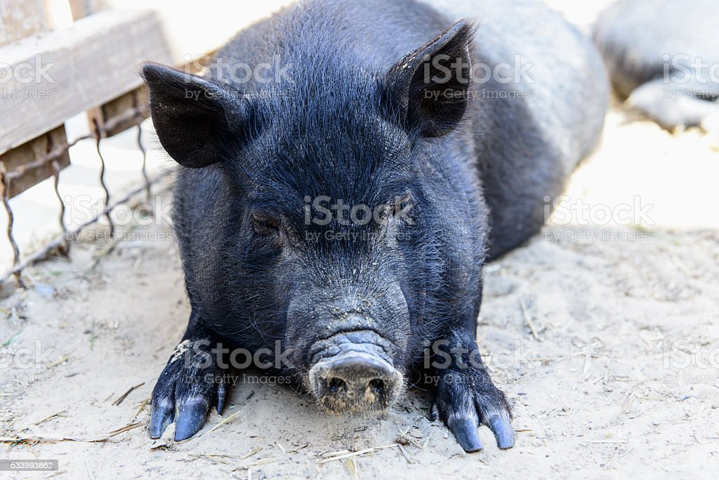 animal black pig stock photo
