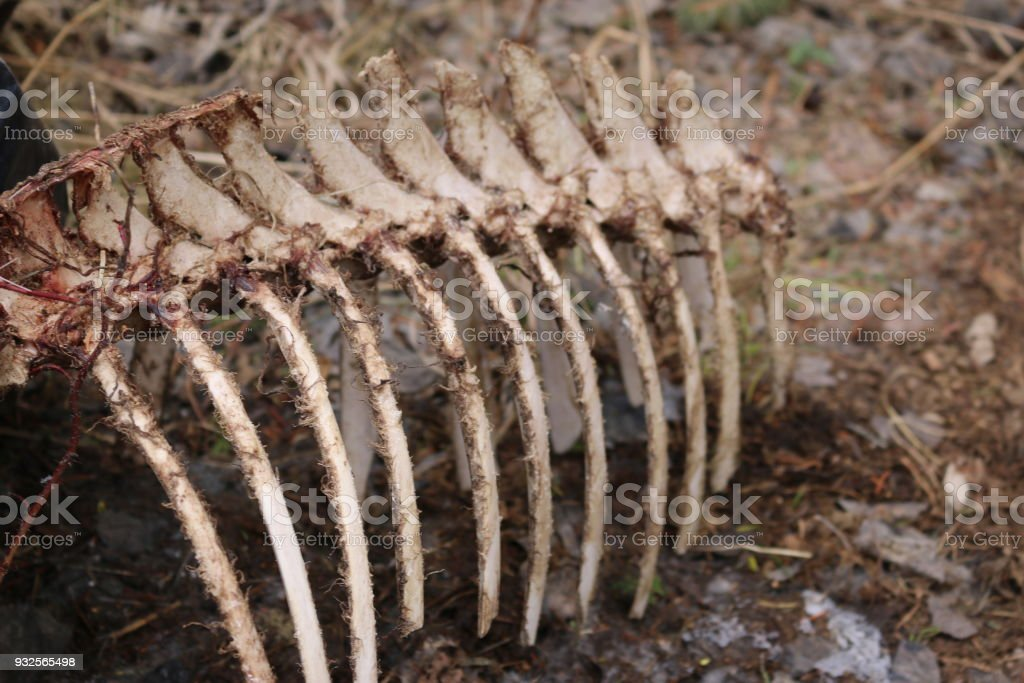 Animal Bones And Rib Cage Stock Photo & More Pictures of Anatomy ...
