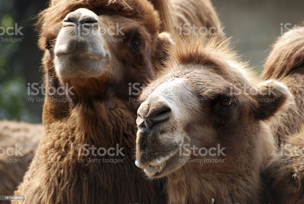 animal camel portrait royalty-free stock photo