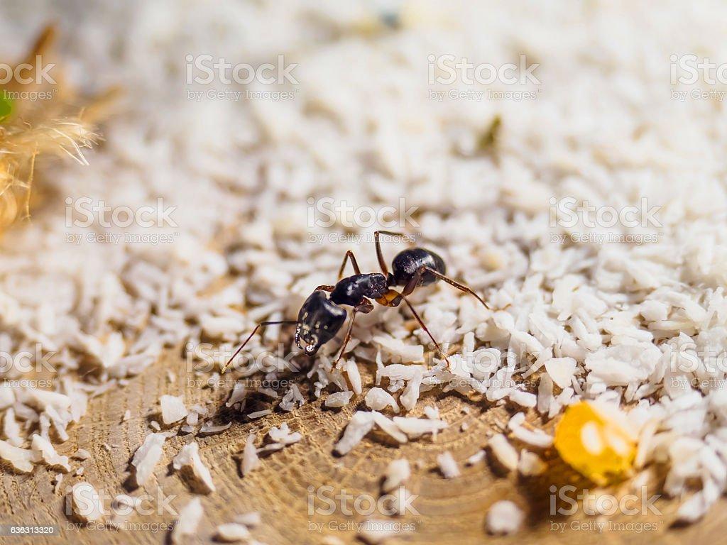 animal Camponotus ants fellah стоковое фото