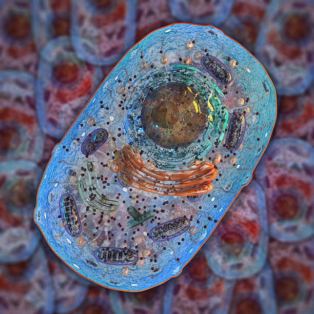 Animal cell. Internal structure stock photo
