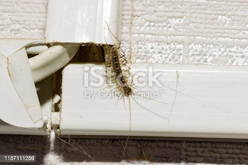 Animal centipede crawls out of his hiding place in a residential apartment.