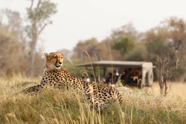 animal cheetah wildlife safari drive savanna nature cat africa grass - wildlife reserve stock pictures, royalty-free photos & images