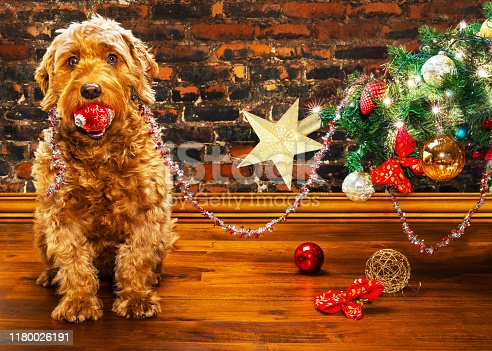 young miniature goldendoodle with a Christmas ornament in her mouth, sitting next to a fallen Christmas tree.