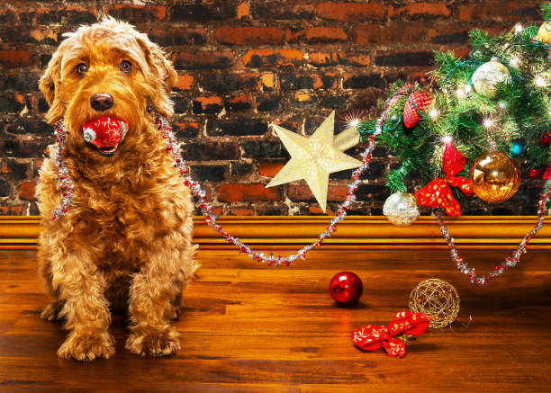 animal christmas theme young miniature goldendoodle with a Christmas ornament in her mouth, sitting next to a fallen Christmas tree. knocked down stock pictures, royalty-free photos & images