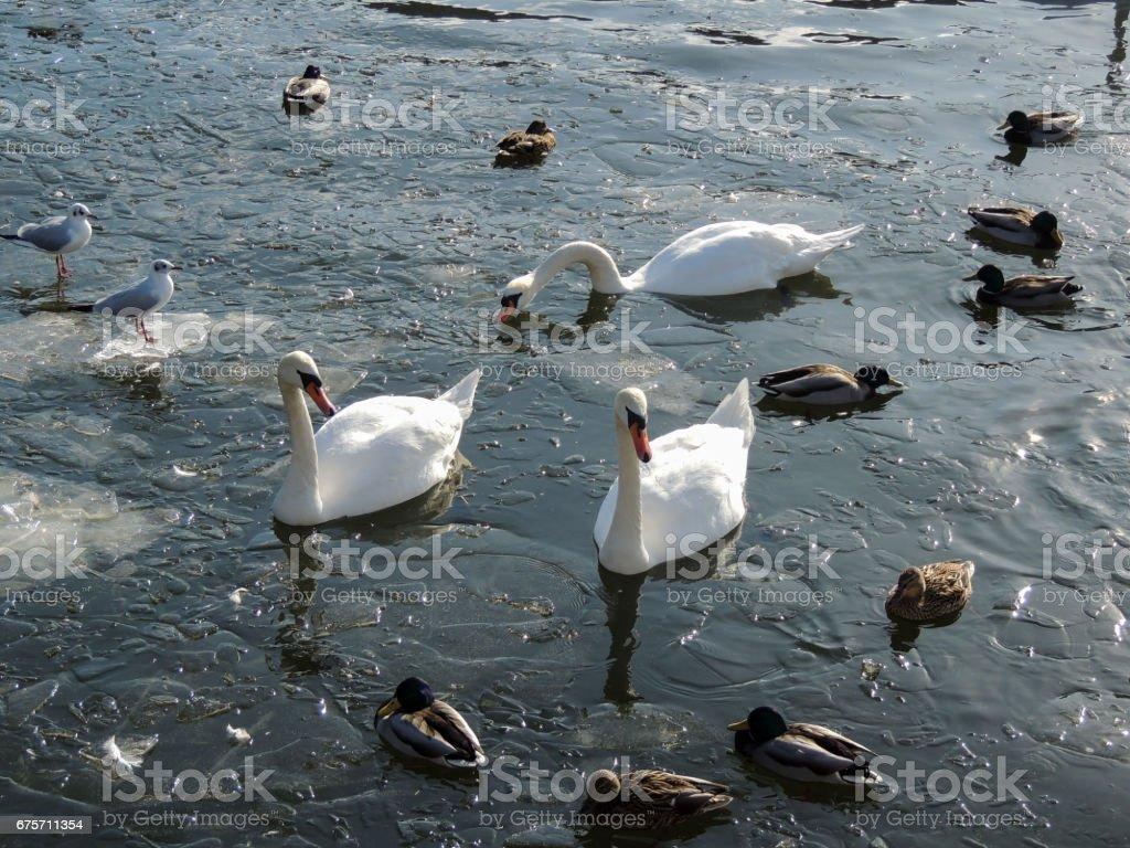 動物特寫攝影。在冰凍的河上的鳥。 免版稅 stock photo