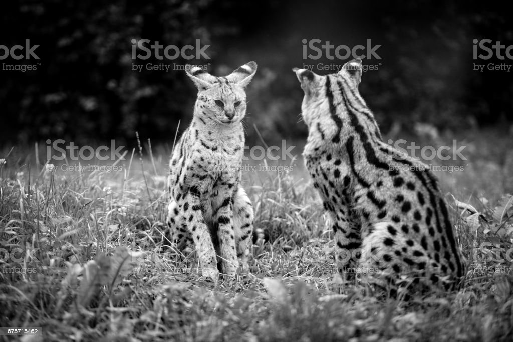 Animal close-up photography. Cheetah babies sits and look at each other. royalty-free stock photo