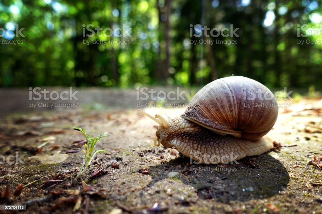 動物特寫攝影。非洲大蝸牛在地上爬。 免版稅 stock photo