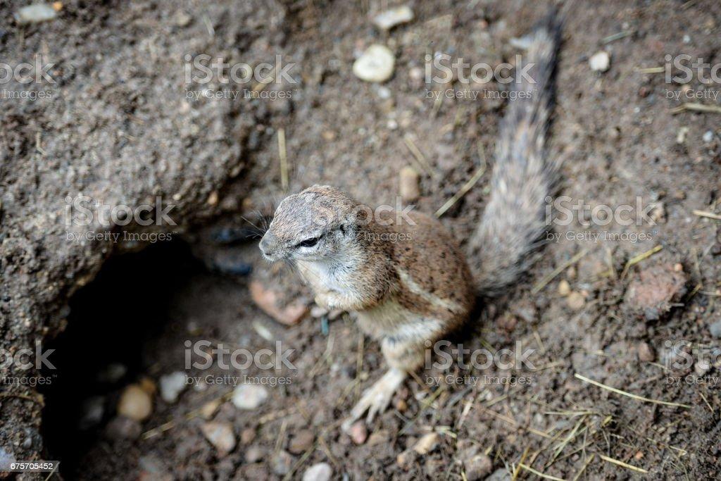 動物特寫攝影。地松鼠仔細觀察周圍的環境。 免版稅 stock photo