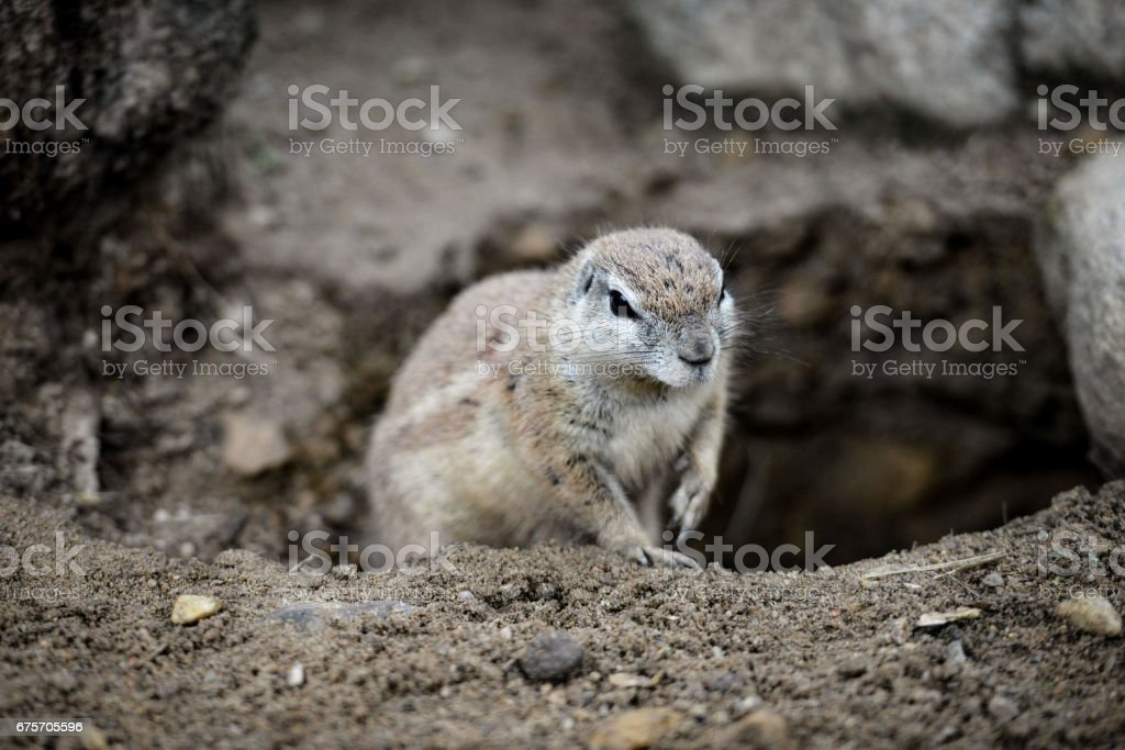 Animal close-up photography. Ground squirrels bserve the surroundings. royalty-free stock photo