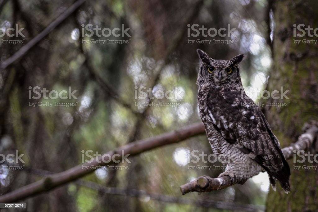 Animal close-up photography.  Spotted owl observe the surroundings.. royalty-free stock photo