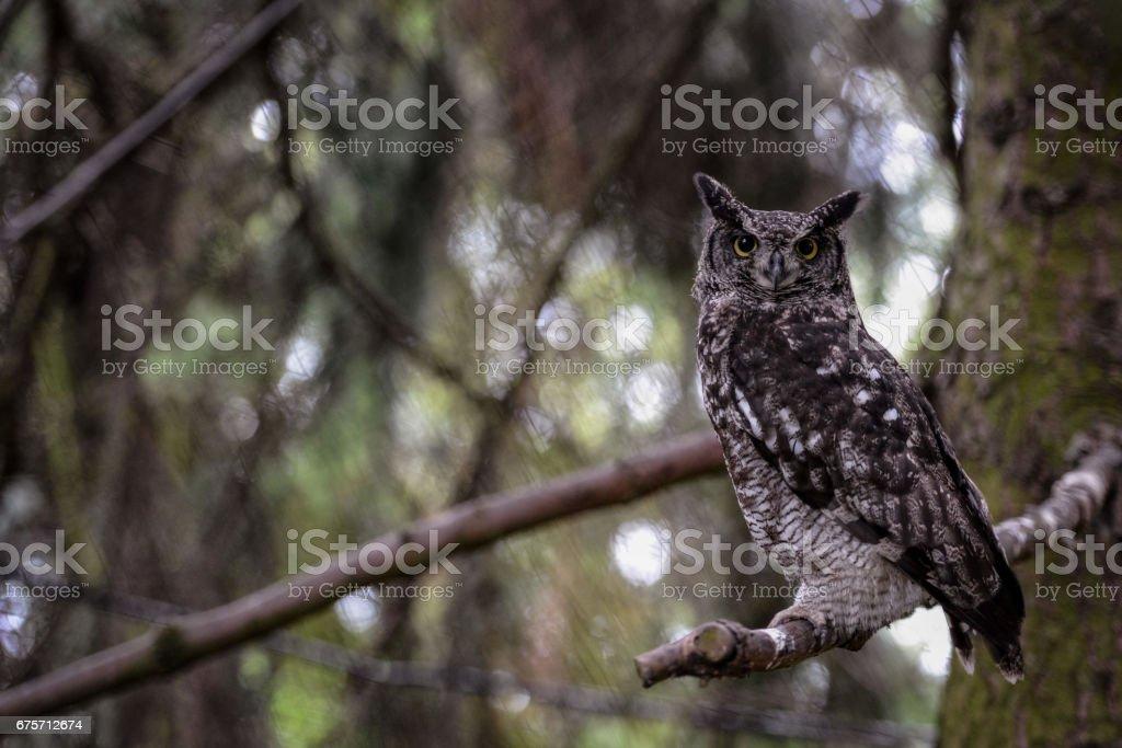 動物特寫攝影。 斑點的貓頭鷹觀察周圍的環境。 免版稅 stock photo