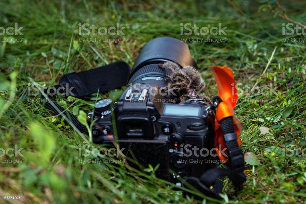 動物特寫攝影。狼蛛露天步行通過攝像頭。 免版稅 stock photo
