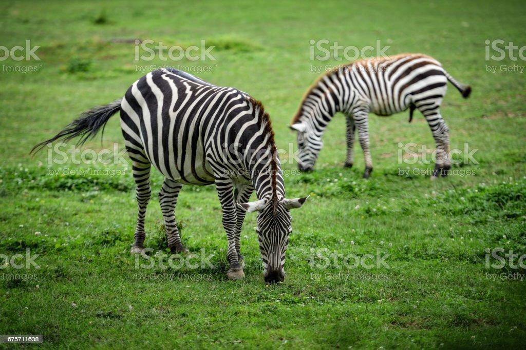 動物特寫攝影。在野外的斑馬。 免版稅 stock photo
