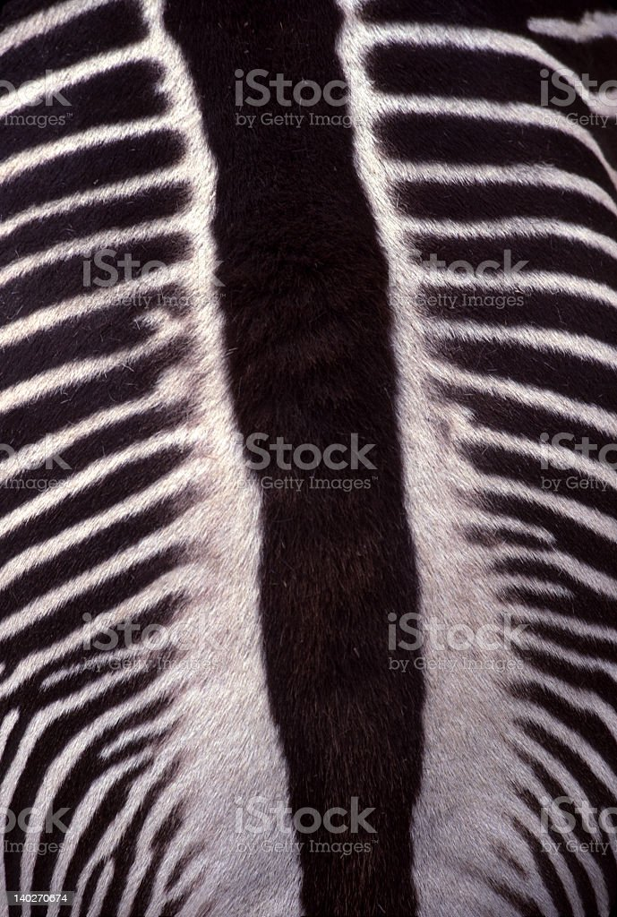 Animal Coat - Zebra Stripes from Above, a Closer Look stock photo