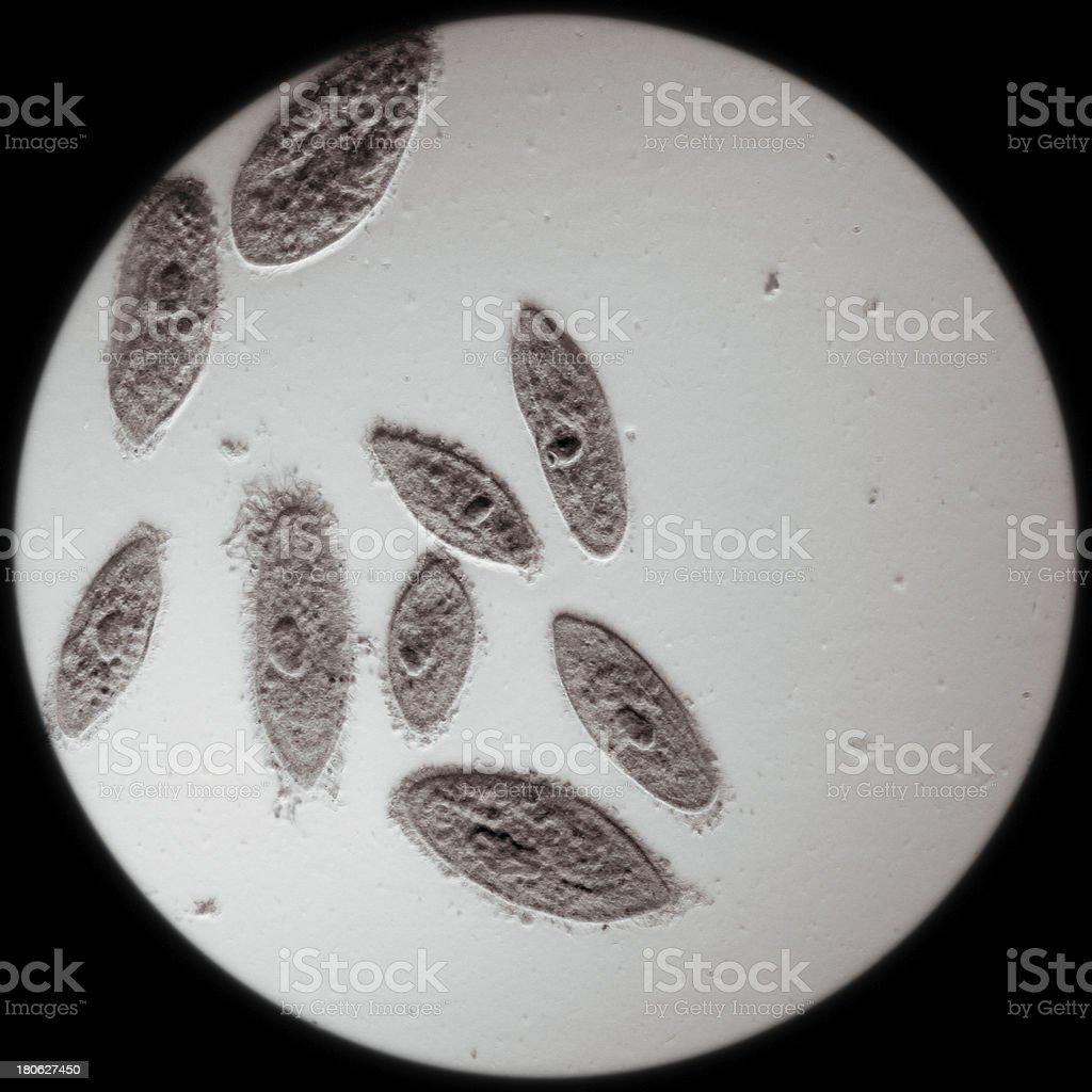 Zwierzę Koniugacja z Pantofelek części podstawnej kresomózgowia – zdjęcie
