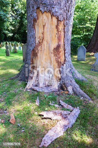 An established tree with large area of bark removed probably due to animal damage.