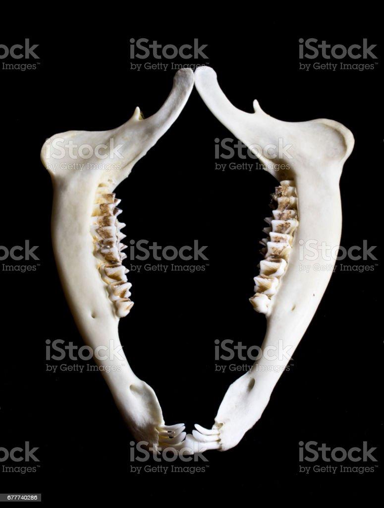 Fotografía de Ciervos Del Animal Mandíbula Hueso Esqueleto y más ...
