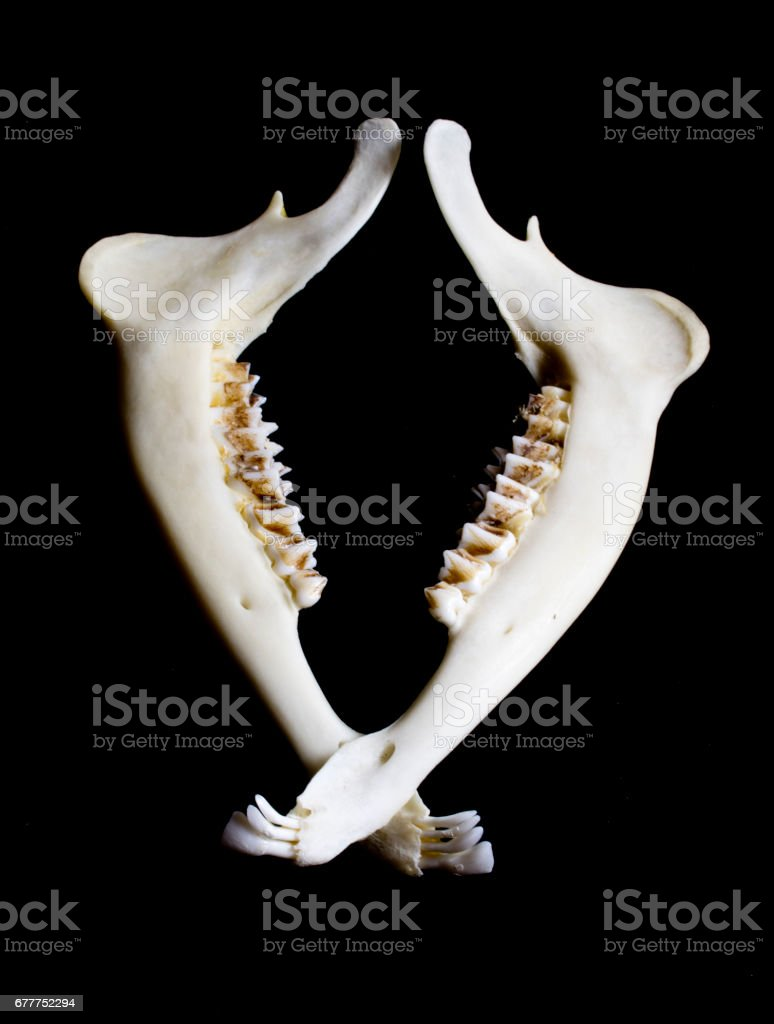 Animal Deer Jaw Bone Skeleton stock photo
