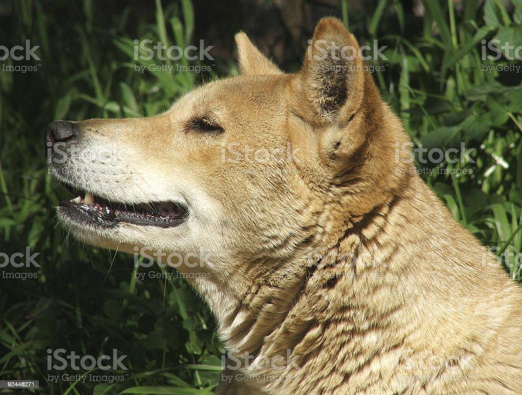 Animal - dingo stock photo