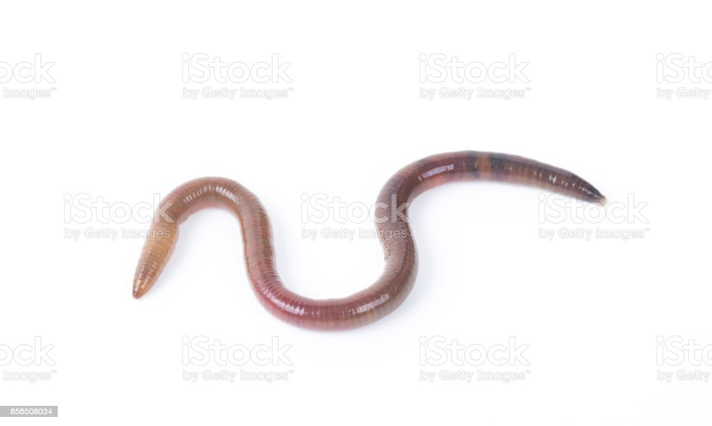 Animal earth worm isolated on white background. stock photo