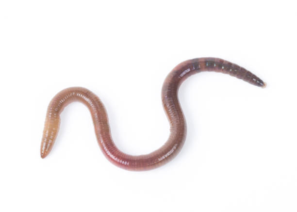 Animal earth worm isolated on white background. Earthworm, Wild animal, Cut out, Single animal, White background worm stock pictures, royalty-free photos & images