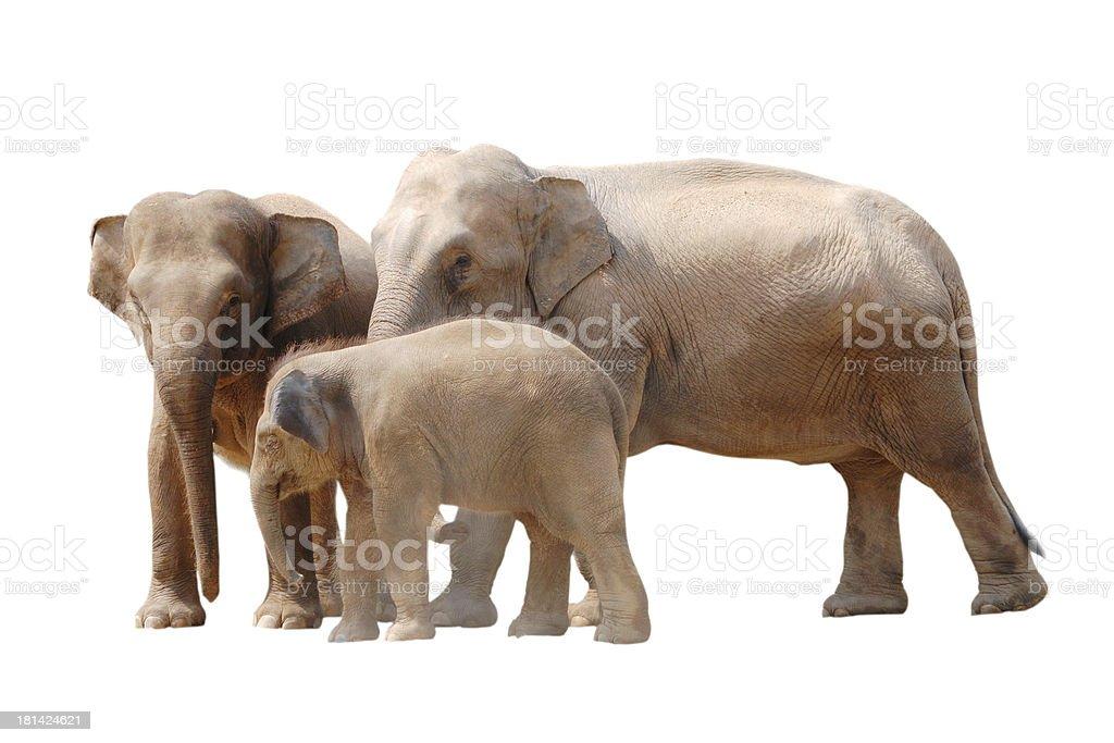 animal elephant family isolated stock photo