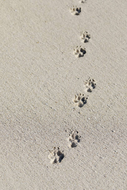 0390217dd Animal footprints in the sand background stock photo
