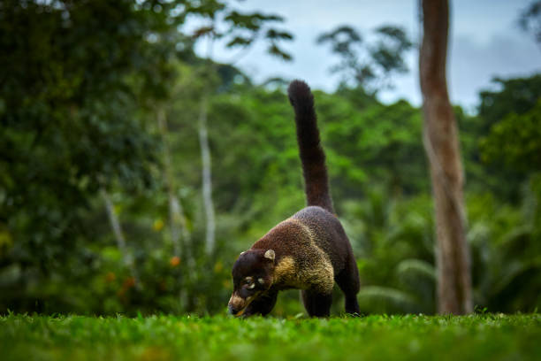Animal from rainforest of Costa Rica. White-nosed Coati, Nasua narica. Mammal in nature habitat. stock photo