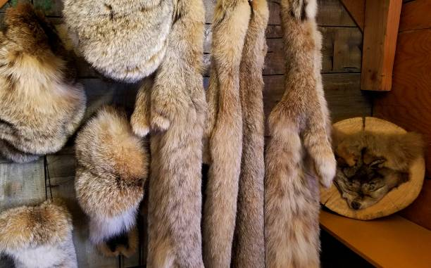 Animal Furs Close Up, in a Rustic Setting stock photo