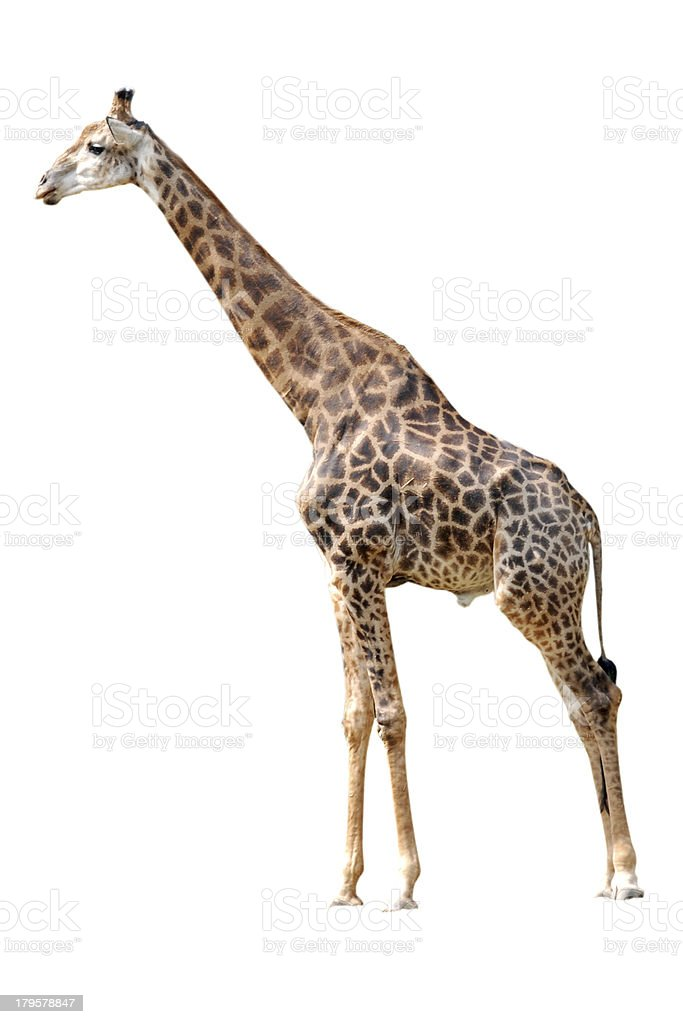 Animal giraffe isolated in white background