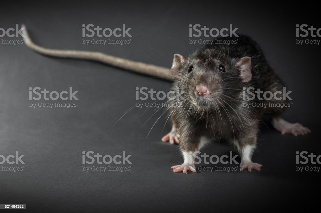 Animal gray rat close-up stock photo