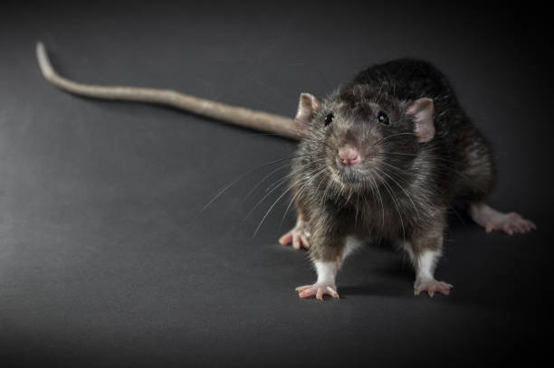 Animal gray rat close-up stock photo