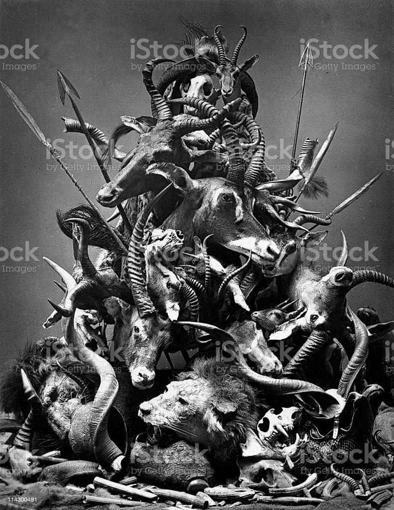 Animal Heads from Big Game Hunting and Poaching, circa 1800s stock photo