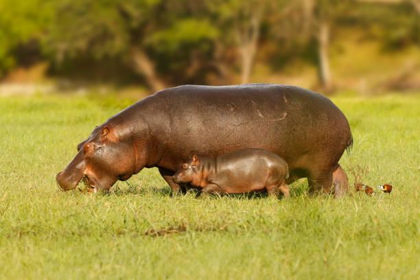 animal hippopotamus mother baby wildlife africa care nature safari river - hippo tail stock photos and pictures