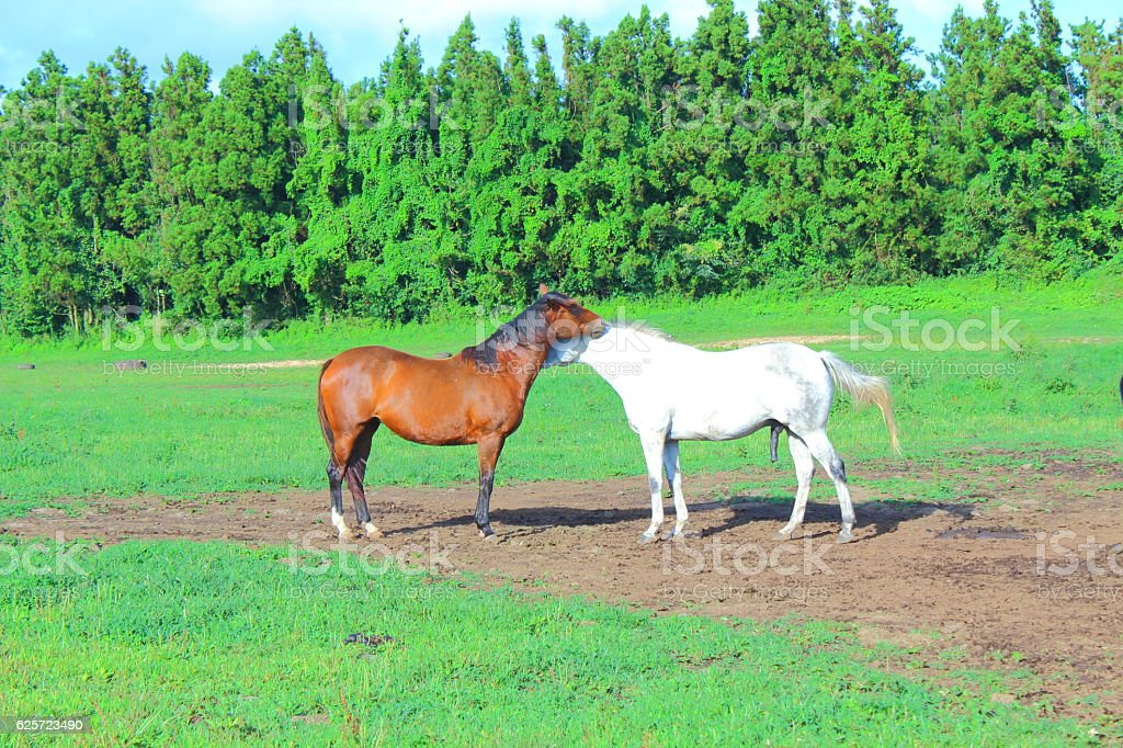 Animal horse of Jeju Island