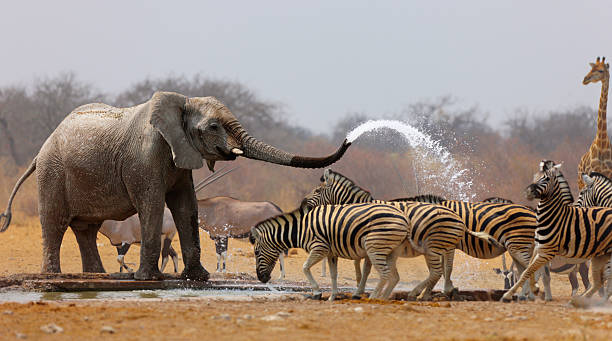 Animal humour Elephant spraying zebras with water to keep them away from waterhole namibia stock pictures, royalty-free photos & images