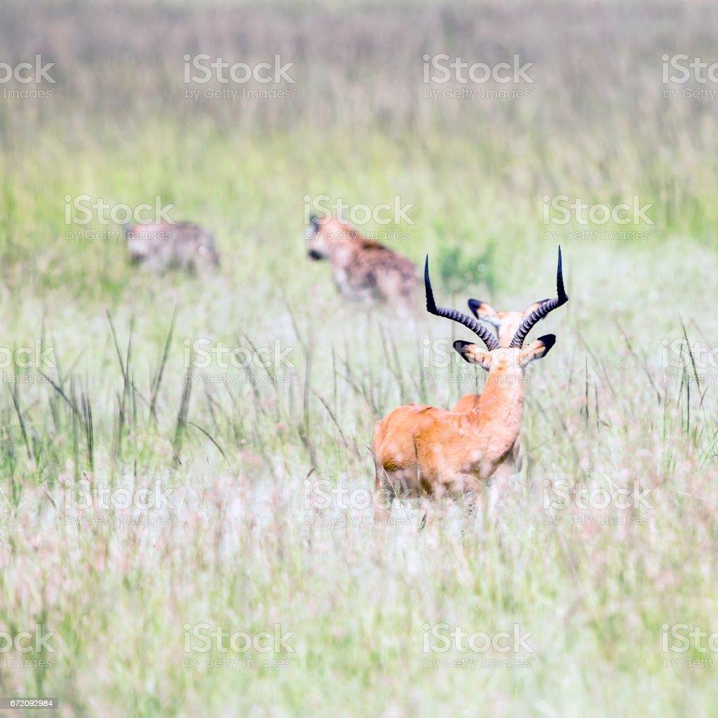 Hayvan avcılık: Sırtlan antilop çok yakın stok fotoğrafı
