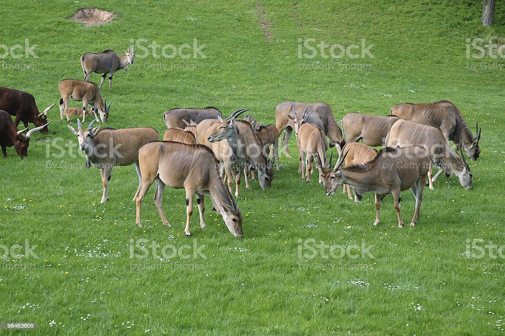 Animal husbandry royalty-free stock photo
