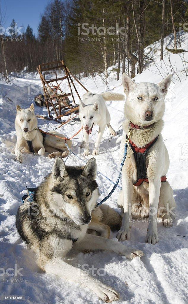 Animal in teamwork royalty-free stock photo