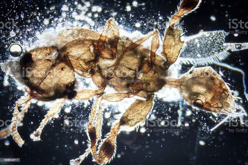 science microscopy micrograph animal insect, Magnification 50X