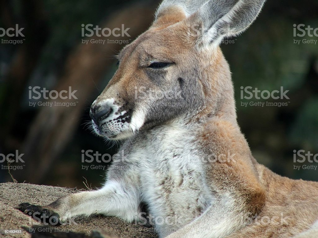 Animal - kangaroo royalty-free stock photo