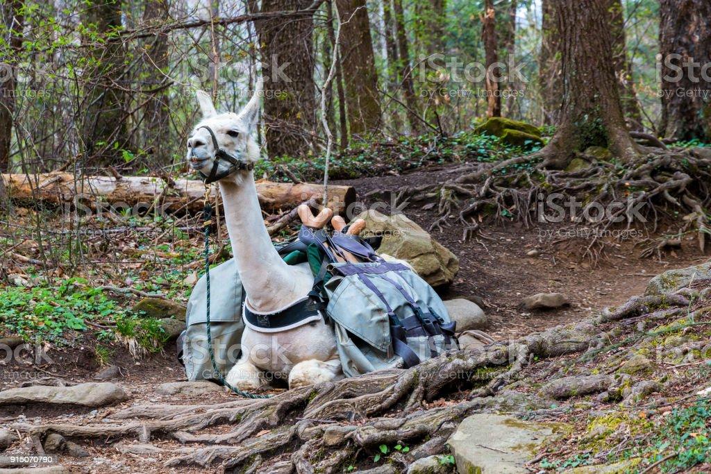 Tragen Sie Tier-Lama, verwendet für schwere Packungen ruht in den Wald. – Foto